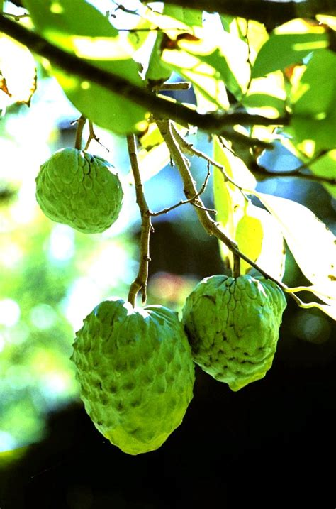 Forum: Tropical Fruit Trees Successfuly Grown In Sydney