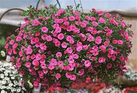 3 stk MiniFamous™ Double Pink | Hobbyplanter