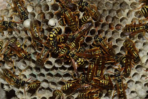 Wasp & Yellow Jacket Pest Control In Seattle WA