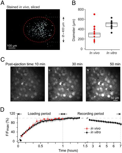 In vivo two-photon calcium imaging of neuronal networks   PNAS