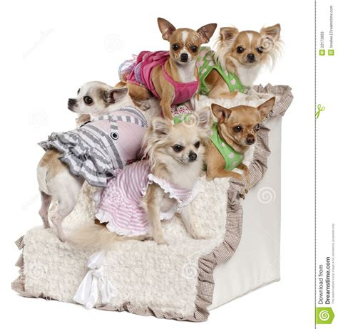 Five Chihuahuas Sitting On Steps Stock Photos - Image