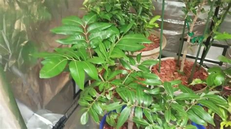 Container Longan Tree Zone 7a Update | January 2017 - YouTube