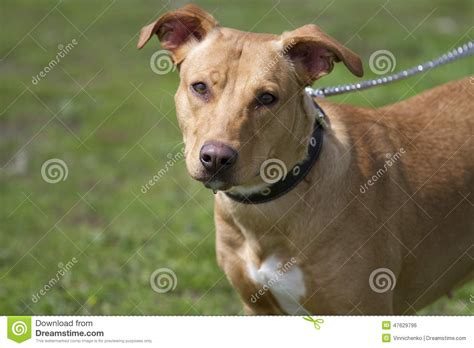 Portrait Of Brown American Staffordshire Bull Terrier